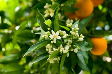 Image result for neroli flower